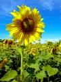 Лепестковое солнце